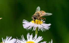 Картинка цветок, макро, природа, пчела