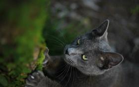 Обои глаза, кот, макро, серый, размытость, мордашка, ногти