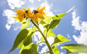 Обои небо, листья, растение, подсолнух, стебель