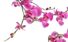 Картинка макро, цветы, ветки, нежность, красота, лепестки, орхидеи