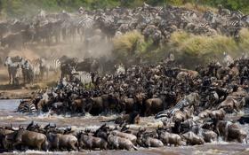 Обои животные, природа, река, саванна, африка, водопой, большая миграция
