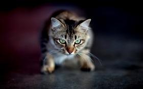 Картинка кошка, взгляд, макро