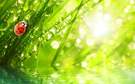 Обои капли, трава, роса, вода, божья коровка, природа, лучи
