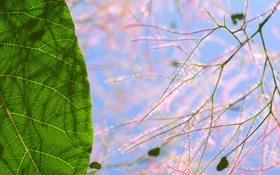 Картинка растение, тень, лист, макро, Скумпия