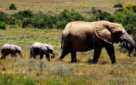 Обои трава, три, кустарники, мать, детёныши, слона
