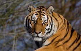 Картинка морда, тигр, дикая кошка