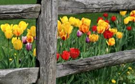 Картинка цветы, природа, забор, тюльпаны