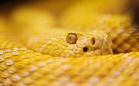 Обои глаз, змея, размытость, смотрит, желтая