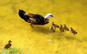 Обои природа, утки, птицы