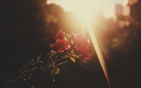 Картинка солнце, цветы, розы, лепестки