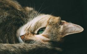Картинка кошка, кот, усы, взгляд, зеленый, глаз, шерсть