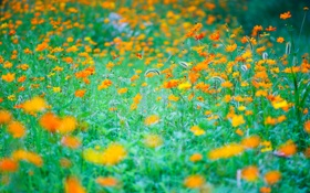 Обои поле, трава, цветы, луг