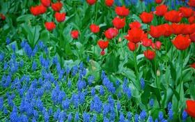 Обои сад, тюльпаны, луг, лепестки