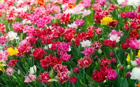 Обои цветение, тюльпаны, разноцветные, лепестки, много
