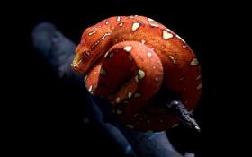 Обои макро, клубок, темный фон, змея, ветка, пятна, красная