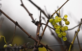 Обои ветки, природа, виноград