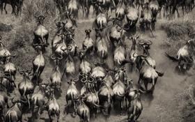Обои Африка, стадо, буйволы, Кения