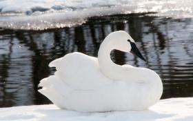 Картинка зима, вода, снег, лёд, размытость, белый лебедь
