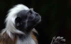 Обои взгляд, обезьяна, окраска, Эдипов тамарин