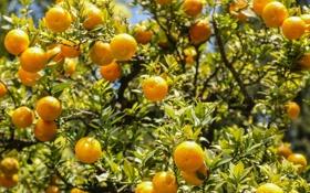 Обои цитрусы, плоды, апельсины, свет, листва, солнце