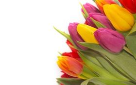 Картинка тюльпаны, бутоны, листики