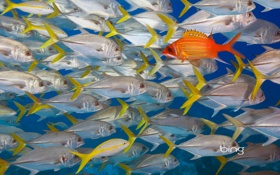 Картинка косяк, longjaw squirrelfish, океан, belize, рыба, цвет, море