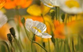 Картинка белый, цветок, мак, цветение