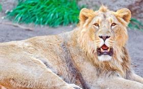 Обои морда, lion, Лев, panthera leo, отдых, взгляд, усы
