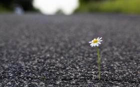 Картинка дорога, цветок, макро