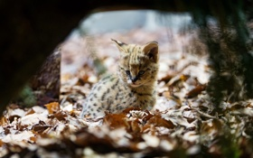 Картинка листва, малыш, уши, детеныш, дикая кошка, сервал, кустарниковая кошка