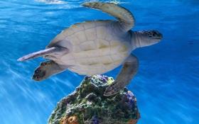 Картинка море, вода, океан, черепаха