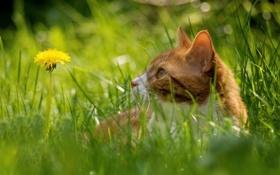 Обои боке, трава, кошка, одуванчик, усы