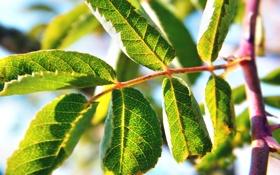 Картинка лето, листья, макро, природа, стебель, зеленые