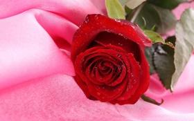 Картинка фон, розовая, роза, ткань, красная