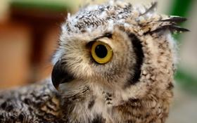 Обои глаз, птица, перья, клюв, филин