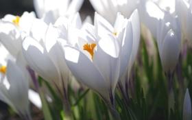 Картинка белый, макро, свет, весна, крокус