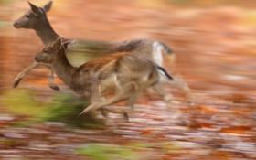 Обои природа, бег, косули