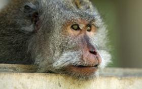 Картинка взгляд, морда, обои, голова, обезьяна, wallpaper, мартышка