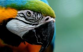Обои попугай, клюв, крупный план, ара, перья, взгляд