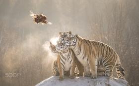 Обои полёт, молодые, добыча, тигры
