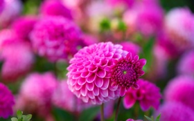 Картинка макро, цветы, размытость, розовые, георгины