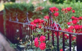 Обои цветы, забор, ограда, лепестки