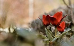 Картинка лето, трава, макро, цветы, лепестки, тюльпаны, бутоны