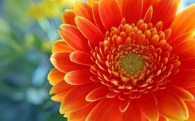 Обои Flowers, яркооранж, центряк