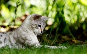 Картинка лето, трава, глаза, усы, котяра