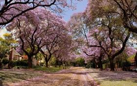 Обои улица, деревья в цвету, красота