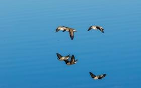 Обои море, птицы, отражение, чайка