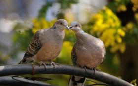 Обои птицы, весна, труба, пара, горлинки