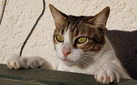 Обои кот, лапки, кошак, котяра
