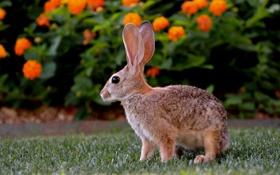 Картинка цветы, природа, кролик, профиль, оранжевые